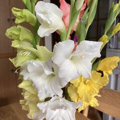 切り花/グラジオラス 切り花にしたグラジオラスがちゃんと咲きま…