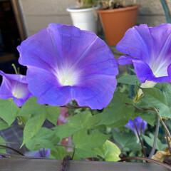 朝顔 朝顔、まだ咲いてます😃 種を植えた訳じゃ…(1枚目)