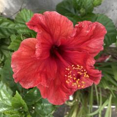 夏/ハイビスカス まだまだ咲いています🌺 真っ赤な花だから…