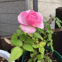 薔薇 薔薇って中々花びらが開かないですね、よう…