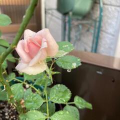 薔薇 久々に咲いた薔薇です。だいぶ最初の頃に比…(1枚目)