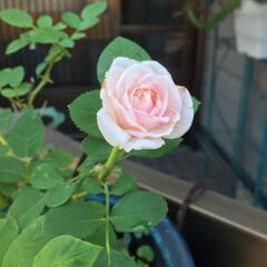 薔薇 また我が家の薔薇が咲きました🌹 薄いピン…(1枚目)
