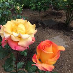 薔薇 これも薔薇です。イメージから離れてる薔薇…(2枚目)