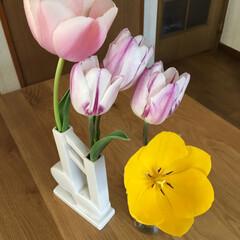 チューリップ チューリップ🌷も色が違うと花びらの開く速…