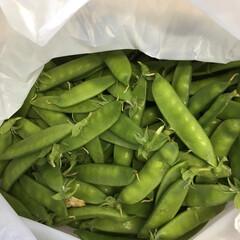 家庭菜園 お昼頃収穫した絹さやです。色々料理に使い…