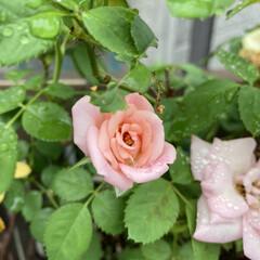 薔薇 薔薇🌹です。 またまた咲きました。少し前…