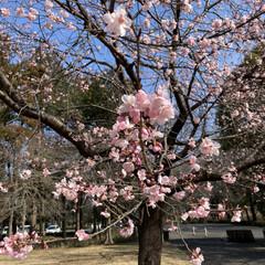 ピンク/綺麗/寒桜 梅かと思ったら寒桜でした🌸お天気良くて綺…(1枚目)