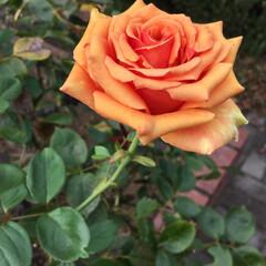 薔薇 オレンジ色の薔薇🌹 あまり見た事なかった…(1枚目)