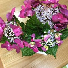 紫陽花 実家に昨日行ったので額紫陽花を切り花にも…