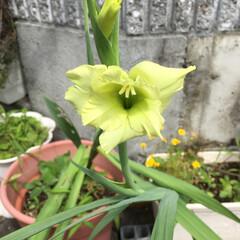 ハイビスカス/グラジオラス やっと咲き始めたグラジオラス、変わった色…