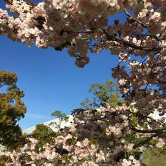 八重桜 八重桜です。まだ咲いていました。(2枚目)
