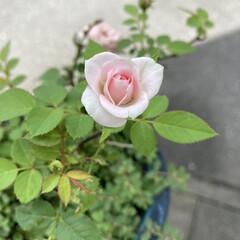 薔薇 薔薇🌹 ミニ薔薇になってしまいました… …