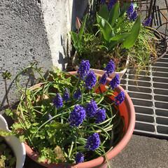 チューリップ やっとチューリップ🌷が一つ咲きました。風…(2枚目)