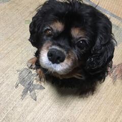愛犬 こあきちゃん❤️