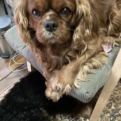 愛犬/可愛い 私の椅子にいつの間にかさんた君がちゃっか…