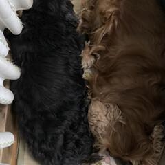 仲良し/愛犬 頭とお尻が逆さに、でも平行に寝てる2人❤…