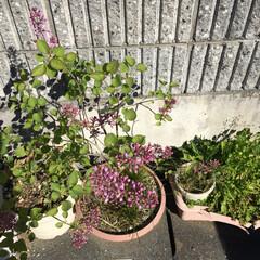 チューリップ やっとチューリップ🌷が一つ咲きました。風…(3枚目)