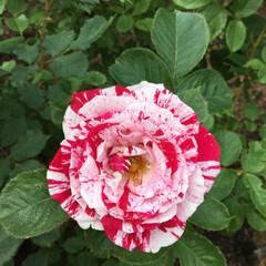 薔薇 これも薔薇です。イメージから離れてる薔薇…
