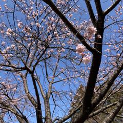 ピンク/綺麗/寒桜 梅かと思ったら寒桜でした🌸お天気良くて綺…(2枚目)