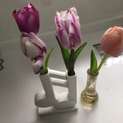チューリップ やっとプランターのチューリップ🌷咲きまし…(2枚目)