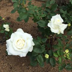 薔薇 地元にある道の駅に行ったらミニ薔薇園をや…(2枚目)
