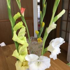グラジオラス プランターに咲いたグラジオラス、咲き始め…