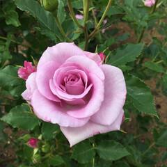 薔薇 地元にある道の駅に行ったらミニ薔薇園をや…(1枚目)