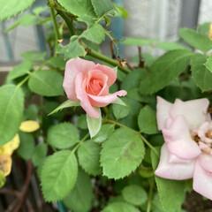 薔薇 薔薇🌹です。 またまた咲きました。少し前…(2枚目)