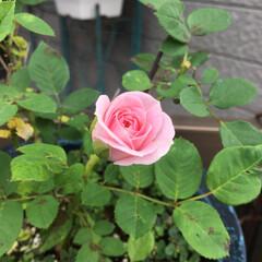 薔薇 また可愛らしい薔薇🌹咲きました🌹 ミニ薔…