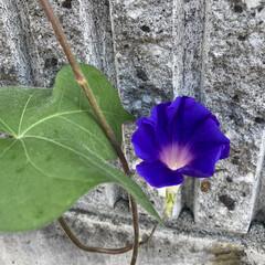 ハイビスカス/朝顔/カエル/ガーデニング 朝咲いていた我が家の朝顔、もう種も古いか…