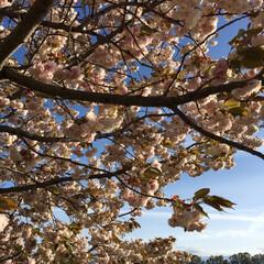 八重桜 八重桜です。まだ咲いていました。