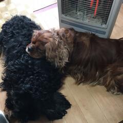 愛犬 暖かいヒーターの前でさんたがこあきちゃん…