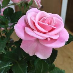 薔薇 薔薇🌹