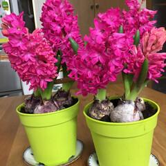 ヒヤシンス咲きました/ピンク 咲きましたヒヤシンス😃鼻が花粉症なので微…