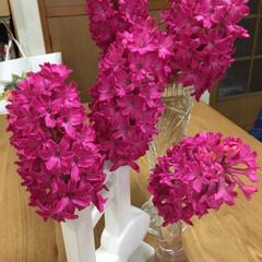 ヒヤシンス咲きました ヒヤシンス、切り花にしてしまいました。倒…