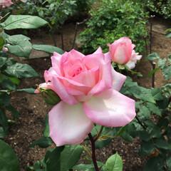 薔薇 地元にある道の駅に行ったらミニ薔薇園をや…(3枚目)