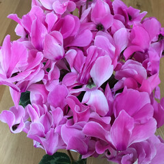 ピンク シクラメンがさらに花を咲かせ大きくなりま…