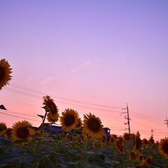 夏/写真/一眼レフ/マジックアワー/夕暮れ/ひまわり/... 夕暮れ時、ひまわりを見に…