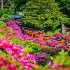 わたしのGW/東京/日本/神社/花/つつじ 東京都文京区にある根津神社つつじ祭りでの…