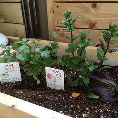 料理/菜園/ハーブ ハーブ菜園   *パクチー *アップルミ…