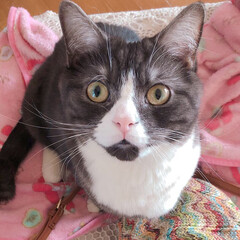 猫/家族/足長マンチカン/うちの子ベストショット おひげです。 良く将軍って呼ばれます。 …