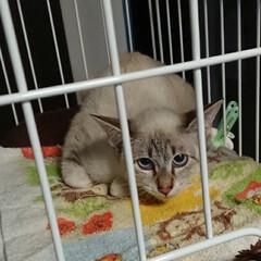 猫のいる生活/猫のいる暮らし/猫飼育/目がブルー/cat/ネコ/... 日曜日、保護猫😺のメス猫ちゃんを頂いて来…