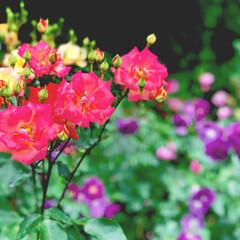 カラフル/薔薇/庭園/円通院/松島/おでかけワンショット/... 松島近くの円通院 庭園の中にある薔薇園が…