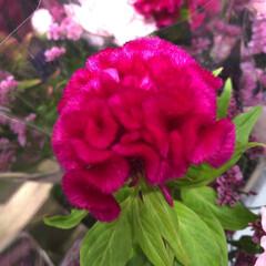 パシャリおでかけワンショット/ライフ/花屋さんの花/スーパーマーケット/おでかけワンショット 3、2019年7月28日、トナリエの花屋…(4枚目)