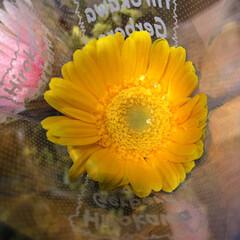 パシャリおでかけワンショット/スーパーマーケット/花屋さんの花/ライフ/おでかけワンショット 1、2019年8月2日、トナリエの花屋さ…(7枚目)