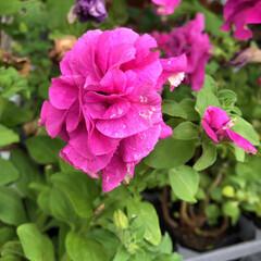 残暑見舞い申し上げます/産直市場/花屋さんの花/よってって/インテリア/プチプラ/... 2021年8月7日、美しい花を見てカメラ…(10枚目)