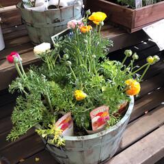 ありがとう/花屋さんの花/コーナン/ピンク 2020年2月28日、アラニスより愛をこ…