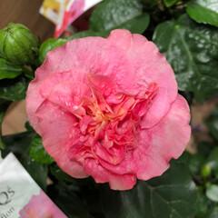 ライフ/至福のひととき/花屋さんの花/スーパーマーケット 1、2019年7月4日、トナリエの花屋さ…(6枚目)
