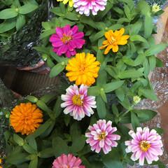 よってって/花屋さんの花/産直市場/残暑見舞い申し上げます/ハンドメイド/プレゼント/... 2021時9月1日(水)、アラニスより愛…(9枚目)