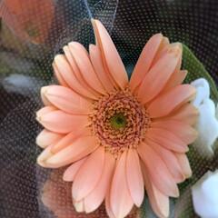 花屋さんの花/パシャリおでかけワンショット/スーパーマーケット/おでかけワンショット 4、2019年9月6日、万代の花屋さんに…(3枚目)